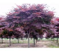 彩叶苗木售价:紫叶红栌、日本红枫、金枝国槐、花叶复叶槭、茶花
