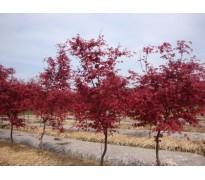 彩叶苗木售价:金叶复叶槭、紫叶合欢、小丑火棘、南天竹、黄刺玫