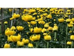 草花地被价格:紫罗兰、菊花、禾鼠尾草、蓝羊茅、马蹄金、美人蕉