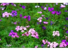 草花地被报价:郁金香马蹄莲、牡丹康乃馨、红玫瑰白百合、金鱼草