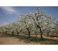 果树苗木价格:核桃树、葡萄、梨树、板栗、石榴树、枣树、苹果树
