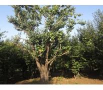 果树苗木报价:猕猴桃、柿子树、樱桃树、杏树、柿树、木瓜、海棠