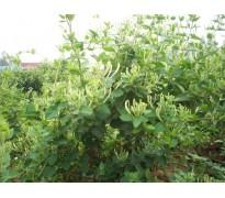 藤本植物报价:相思豆、蔷薇、紫藤、西番莲、绿宝石、凌霄常青藤