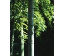 竹类植物价格:毛竹四方竹、凤尾竹、菲白竹、罗汉竹、黄金碧玉竹
