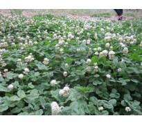 草坪草籽报价:紫罗兰、早熟禾、鼠尾草、金鱼草、蓝羊茅、细叶芒