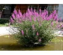 水生植物价格:水生美人蕉、千屈菜、鱼腥草、菖蒲芦苇、荷花睡莲