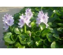 水生植物报价:水生鸢尾、水葱蒲苇、灯心草、凤眼莲、红菱香水莲