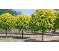 供应复叶槭15-20cm