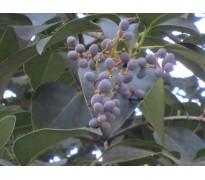 供应大叶女贞、七叶树、红梅