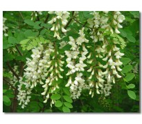 供应白榆、椿树、刺槐、杜梨