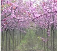 供应西府海棠、复叶槭、巨紫荆