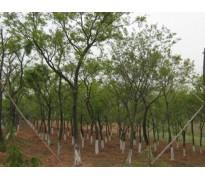供应重阳木、榉树、黄连木、水杉