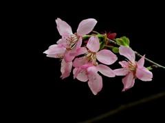 供应樱花、鸡爪槭、南天竹