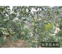 核桃苗12345公分核桃树678910公分核桃树
