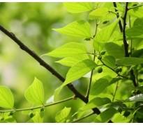 供应朴树、鸡爪槭、三角枫