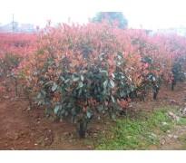 供应红叶石楠p60一300cm