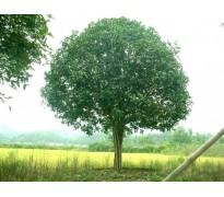 单杆1米2以上20公分的桂花树