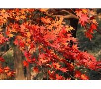 供应夹竹桃、红枫、鸡爪槭、垂丝海棠