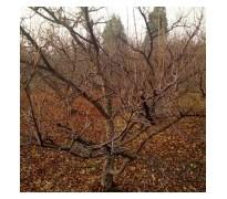 梨树1-10公分梨树 桃树 海棠树 山杏树 山楂树 柿子树